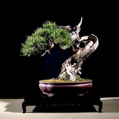 pinus-mugo-bonsai-6