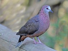 Google Image Result for http://carolinabirds.org/Daniels/SouthAfrica/BrdsOfEden/Dove,%2520Cinnamon.jpg