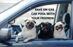 Pugs say carpool with friends! Pet Postcard Project