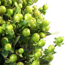 Green Hypericum Berry Flower