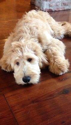 Goldendoodle, Roux!! (This is what my Abbey is going to look like when she grows up - Woman & Dogs)