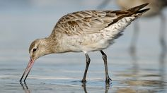 Bar Tailed Godwit | Bird Of The Year 2015 ? Vote ^.^