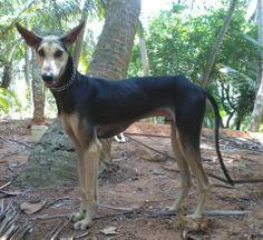 Chippiparai hound photo | Chippiparai Dog-A Watchful protector