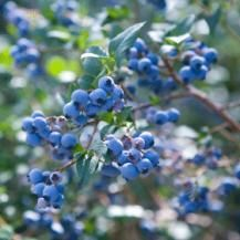 How to Grow Blueberries - In the wild, blueberries grow in acid, moorland soil. In the garden they need a moist, peaty, very acid soil and an open, sunny position