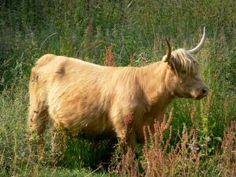 Parc Naturel Régional des Boucles de la Seine Normande - Marais Vernier : vache Highland Cattle dans un pré Highland Cattle, France, Animals, Cow, Normandie, Rural Area, Locs, Animales, Animaux