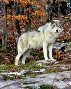 Beautiful Timber Wolf. Quebec, QC, Canada