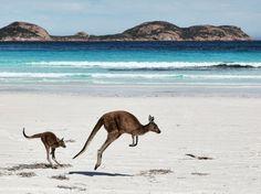 kangaroos on an Aussie beach
