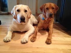 Rossi (Yellow Lab) and Dyna (Fox Red Lab)