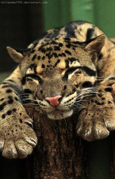 CLOUDED LEOPARD..... also called the tree tiger and the mint leopard because its spots look like mint leaves......found  in dense tropical and subtropical rainforests....found only in the Southeast Asia.....26 to 41 inches long with 10 to 16 inches tail.....males weighs 44 to 55 pounds.....males are twice the size of females.....can have 2 inches long canines.....extremely good climbers & swimmers .
