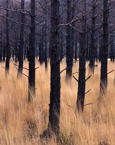 Afterburn, Torridon - Fire damaged Pine trees below Liathach (by Richard Childs)