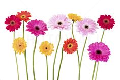 Colorful Daisies - Wall Mural & Photo Wallpaper - Photowall