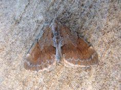 Pine carpet moth
