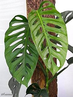 Swiss Cheese Vine Monstera Adansonii - Easy to Grow Tropical Plant Houseplant or Outdoors