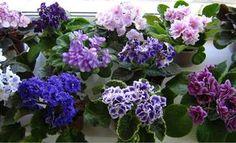 Menekşe sulama, üretimi, çiçek açtırma gibi çeşitli menekşe bakım bilgileri bulabilirsiniz.