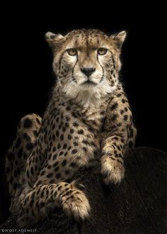 the cheetah by Wolf Ademeit - 500px