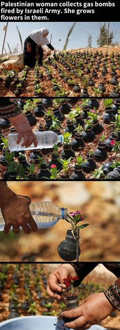 Tick, Tick, Bloom!Palestinian woman collects gas bombs fired by Israeli Army. She grows flowers in them.