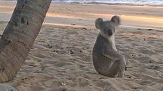 When you think of koalas, you would probably picture them in a gumtree munching on leaves, but one lucky north Queensland family captured this animal indulging in some rarely seen beach behaviour.