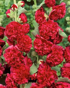 A hardy perennial with a striking display of fluffy double flowers in shades of red and scarlet. Hardy Perennials, Hollyhock, Shades Of Red, Small Groups, Scarlet, Garden Plants, Seeds, Spring, Flowers
