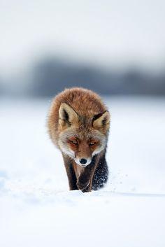 Red Fox by by Stefan Rosengarten on 500px