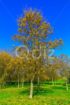 Qdiz Stock Photos | Autumn Trees on Green Grass,  #autumn #background #beautiful #beauty #blue #branch #cloud #colorful #day #environment #field #foliage #grass #green #idyllic #land #landscape #lawn #leaf #leaves #meadow #nature #nobody #outdoors #park #plant #scenery #scenic #season #sky #sunlight #sunny #tranquil #tree #view #weather #wood #yellow