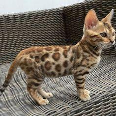 Top 14 der verspieltesten Katzenrassen - All About Kittens - Chat Cute Cats And Kittens, Cool Cats, Kittens Cutest, Fluffy Kittens, Kittens Meowing, Fluffy Cat, Pretty Cats, Beautiful Cats, Animals Beautiful