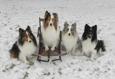 Cricket, Fenway, Bonnie, & Kody for the holidays. Sheltie Nation (2012) #shelties #dogs #cute #holiday #christmas