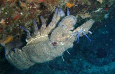 Blu Lobster ( Cicala)