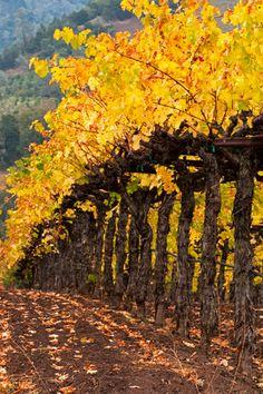 Yellow Vines - Alexander Valley - Sonoma County, California  Photo Credit: http://lancekuehne.com