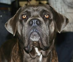 Lapponian Herder dog photo | Lapponian Herder's profile- Picture - Lapponian Herder - (640x446 ...