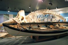 Whaleboat (c1825) beside whale skeleton it hunted at New Bedford Whaling Museum. New Bedford, MA.