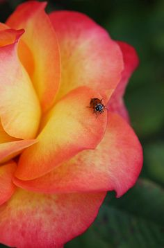Ladybug on my favorite color rose