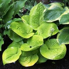 Rich Uncle Hosta from NH Hostas