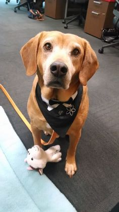 Nobody told Tinker Take Your Dog To Work Day was on a casual Friday - he came sporting his business wear!