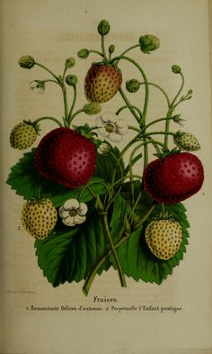 Belgique horticole. By Morren, Charles, 1807-1858  Morren, Edouard, 1833-1886 / Not in Copyright  (aka public domain)  - http://www.biodiversitylibrary.org/item/137650#page/446/mode/1up
