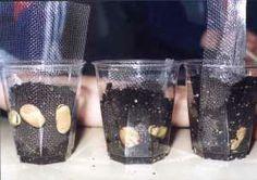 Qui sort en premier la tige ou la racine ? Observation du développement d'une graine par transparence
