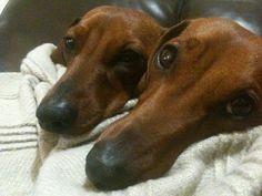 Wiener snoots #DoxieDarlin' #Dachshund #Doxie