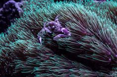Porcelain crab hanging out in some green star polyps
