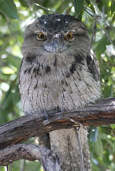 Tawny Frogmouth Owl perching in tree.