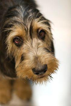 Abby Otterhound_436 Otterhound, Hound Breeds, Dog Breeds, I Love Dogs, Puppies, Best Dogs, Groot, Dog Pictures, Animals