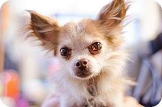 Senior* Adopt Coco, a lovely 10 years  8 months Dog available for adoption at Petango.com.  Coco is a Chihuahua, Long Coat / Mix and is available at the Animal Rescue, Inc. in NEW FREEDOM, PA