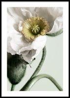White Poppy Close Up Juliste