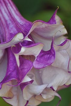 ~~Purple Horn of Plenty (Angel's Trumpet)