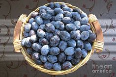 Blue Plums by Mira Ostojic Fine Art America, Blueberry, Basket, Fruit, Food, Berry, The Fruit, Blueberries, Meals