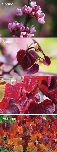 canadensis 'Forest Pansy'Eastern Redbud Cercis 'Forest Pansy' can reach heights of but if you prune it, it'll will be more shrubby and perfect for small gardens. Be prepared for an amazing colour change as the seasons progress - it's absolutely stunning. Garden Shrubs, Garden Trees, Landscaping Plants, Garden Plants, Small Trees For Garden, Flowers Garden, Deciduous Trees, Trees And Shrubs, Flowering Trees