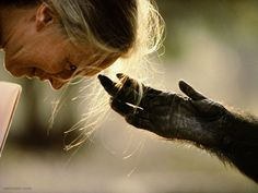 Photo: Michael Nichols/National Geographic Jou Jou, a captive chimpanzee, reaches out its hand to Dr. Jane Goodall at the Brazzaville Zoo in Brazzaville, Republic of the Congo. Photographie National Geographic, National Geographic Photography, Wildlife Photography, Animal Photography, Color Photography, Street Photography, Jane Goodall, National Geographic Animals, National Geographic Photos
