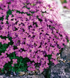 Trough Gardens-Purple Rock Cress  Purple rock cress is a creeping groundcover that looks lovely trailing over rocks or the edges of a trough garden. Most varieties have pink or purple flowers in spring.  Name: Aubrieta deltoidea  Size: 2-8 inches tall; 4-24 inches wide  Zones: 5-7  Top Picks: 'Bressingham Pink' has double pink flowers.  'Royal Velvet' bears large purple blooms.  'Hartswood Purple' produces violet flowers.