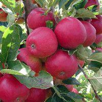 Apple Tree - Arkansas Black