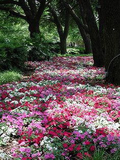 A Beautiful Path of Impatiens plant, tree, yard, color, dalla, path, shade, garden, flower