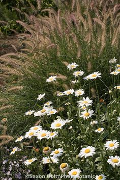 Shasta daisy (Leucanthemum x superbum) perennial in Pennsylvania meadow garden with pennisetum grass, North Creek Nursery