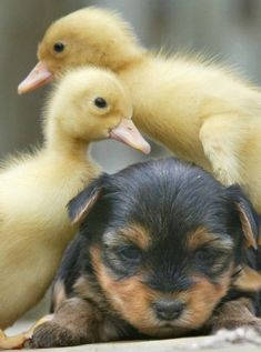 A dog and some ducklings!